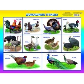Плакат. Домашние птицы
