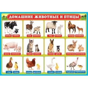 Плакат. Домашние животные и птицы